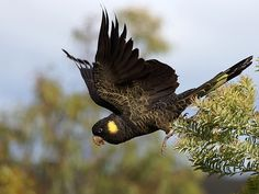The Yellow-Tailed Black-Cockatoo is one of six species of Black-Cockatoo in Australia. In recent years it has been in rapid decline because of native habitat clearance, with a loss of food supply and nest sites. Tropical Birds, Colorful Birds, Australian Parrots, Australia Animals, Small Birds, Cockatoo, Black And Grey Tattoos, Bird Watching, Bird Feathers
