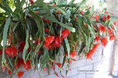 Types of Cactus: Details, Photos (Labelled!) & Varieties | Debra Lee Baldwin, Succulent Expert Rock Garden Plants, Garden Types, Hanging Succulents, Cacti And Succulents, Platycerium, Cactus Types, Vines, Bloom, Pottery