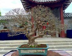 Royal Floria 2016 International Bonsai Exhibition & Competition, Putrajaya.  Picture of Dannie Loong Siew Fang's Facebook feed.  #Bonsai #BonsaiTree #盆栽 #BonsaiLife #Бонсай #BonsaiExhibition #BonsaiMalaysia #BonsaiWork #盆景 #Penjing #Bonsaï