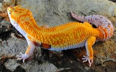Super rare morph. Tangerine white/yellow. One of the best geckos I have ever seen.