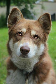 Golden eyes @yummypets #Fidji #Husky