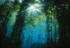 Sunburst through the leaves of a kelp forest.