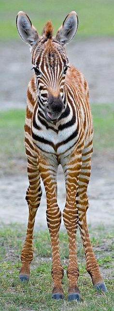Young Zebra Standing In A Field by Panoramic Images