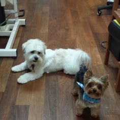Bourre the Yorkie with Trampy nice and clean here at Solana Beach #groomed by Kristina and Kim B.