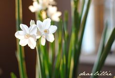 How to Force Paperwhites by houzz: Forcing is a widely used term which means you are fast forwarding their growing cycle to bloom in winter. Paperwhites, also called Narcissus papyraceus, are among the easiest bulbs to force and bloom within about four weeks of planting. #Indoor_Garden #Flowers #Paper_White