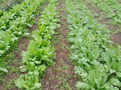 Turnips and daikon radishes #farm