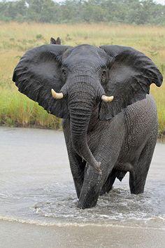 Elephant at Sabi Sands, South Africa