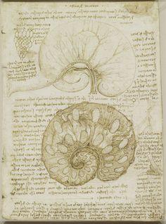 Leonardo da Vinci, 1452-1519, Italian, The uterus of a gravid cow, c.1508.  Pen and ink over traces of black chalk.  Royal Collection Trust, Windsor.