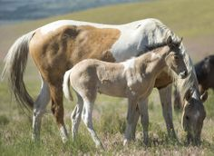 (Rick Egan  |  The Salt Lake Tribune)  A foal and it's mother in the Onaqui wild horse herd, about 60 miles southwest of Tooele,  near Simpson Springs, Thursday, June 5, 2014.