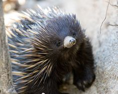 Echidna- spiny insectivorous egg-laying mammal with a long snout and claws, native to Australia and New Guinea. This is one of only two mammals that lays eggs.