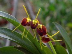 Ajánljuk: Inka kincsek - A Masdevallia orchideák ápolása, http://kertinfo.hu/inka-kincsek-a-masdevallia-orchideak-apolasa/, ezekben a témakörökben:  #Díszkert #Díszkertinövény #Mag #Öntözés #szobanövény #Virág, írta: Szépzöld