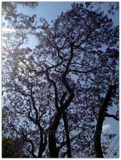Jacarandas en primavera