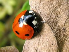 Ladybird by Redscape, via Flickr