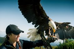 Eagle landing on expert Falconer's arm - part of the Birds in Motion show on top of Grouse Mountain.