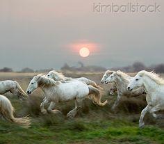 HOR 01 GL0009 01 - Herd Of Camargue Horses Galloping Through Meadow At Sunset - Kimballstock
