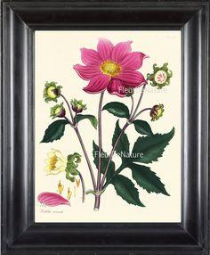 BOTANICAL PRINT ANDREWS 8x10 Botanical Art Print by FleurDeNature, $10.00