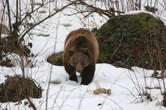 Medveď vraj na Pavla vyjde z brlohu a ak je pekne a mrzne, ľahne si na druhý bok, no ak je odmäk, znovu sa položí na ten istý bok