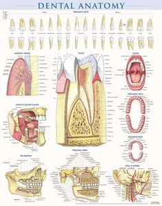 Dental Anatomy - Poster Obsequious Oral Health At Home Dental Health, Oral Health, Dental Care, Health Care, Dental Hygiene School, Dental Hygienist, Dental Assistant, Dental Surgery, Dental Implants