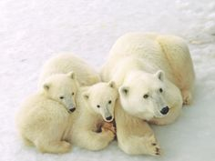 Mama and her cubs in Manitoba, Canada...the polar bear capital of the world.