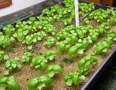 Have you started seeds indoors yet? These basil seedlings are getting a good start before turning into a lovely pesto garden later in the spring. From MOTHER EARTH NEWS magazine.