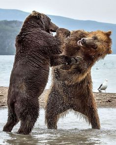 Two Bears Stand On Their Back Legs As They Fight Tooth And Claw At Kurile Lake Park In Kamchatka