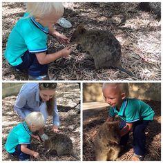 Вот такого зверька встретили мы на острове. Квокка- Это коротко-хвостый кенгуру .Он живет только на этом #rottnestisland . Их там очень много бегает на этом острове Вася был в восторге даже одного почти взял на ручки. Так смешно бегал за ними и хотел  конечно же за хвост схватить. #quokka by singa22 http://ift.tt/1L5GqLp