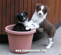 Google Image Result for http://galenaaussies.com/Galena/mini-aussie.jpg