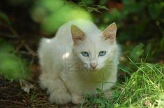 Spartacus or Zathura (White Turkish Van) Mans Best Friend, Best Friends, Turkish Van, American Shorthair, Spartacus, Fur Babies, Love Her, Cats, Animals