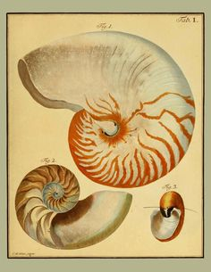 Nautilus Seashell Rustic Art Print or Poster by AdamsAleArtPrints