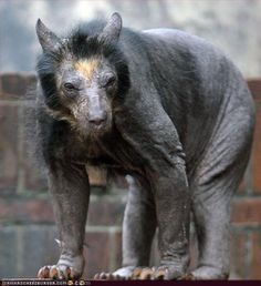 Chupacabra? Gary Oldman in Bram Stokers' Dracula? Actually it's a bear without fur. Such a sad looking little guy.