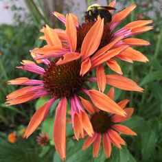 Echinacea 'Evan Saul' Sundown