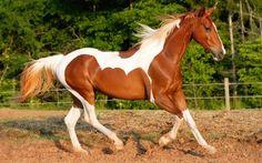 cavallo wallpaper
