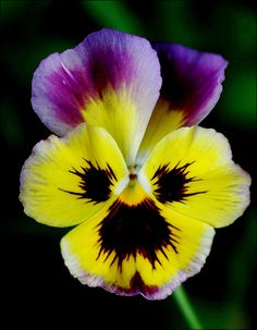 """Pansy"" by Liisamaria on Flickr - Pansy"