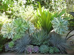 a Southern California garden - love the combination of purple hued Echeverias with Aeonium 'Sunburst', Grasses (Elijah Blue Fescue or Blue Oat Grass), and maybe an Aloe variety.