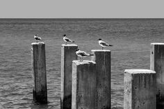 Sea Gulls on Watch - Black and White Photograph (A0015870)