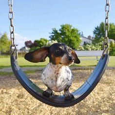 The Diverse Dachshund Breed - Champion Dogs Dachshund Breed, Dachshund Funny, Dapple Dachshund, Dachshund Love, Daschund, Cute Funny Animals, Cute Baby Animals, Animals And Pets, Cute Puppies