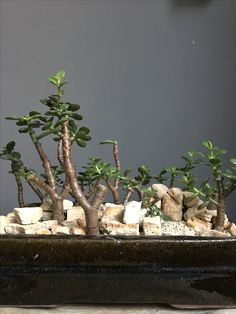 2017|01|04 FOREST CRASSULA OVATA Jade Bonsai, Succulent Bonsai, Bonsai Tree Types, Crassula Ovata, Jade Plants, Gardening, Indoor, Landscape, House