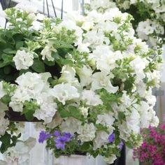 Dans la saga des pétunia, sont apparues ces dernières années, de nouvelles sélections aux fleurs doubles. Voici le Pétunia Tumbelina® Diana