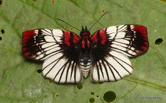 https://flic.kr/p/DTsaTm | Pretty butterfly | from Ecuador: www.flickr.com/andreaskay/albums