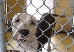 9 MONTH OLD FEMALE PIT PUP NEEDS PLEDGES AND RESCUE! A4796772 My name is Mona Lisa and I'm an approximately 9 month old female pit bull. I am not yet spayed. I have been at the Downey Animal Care Center since February 1, 2015. I am available on February 5, 2015. You can visit me at my temporary home at D521. https://www.facebook.com/photo.php?fbid=813044432109224&set=pb.100002110236304.-2207520000.1423831951.&type=3&theater