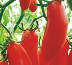 Red Bananas Tomato Seeds, Cherry Biji Lycopersicon Esculentum Rare Exotic Heirloom Sweet Flavor Garden Home Plant Grow Balcony  How to Grow Cherry Tomatoes Growing cherry tomato plants is best after all chance of frost has passed. Before you put your plants into the ground, be sure that the weather is stable as frost will kill the plants.  One of the best tips on growing cherry tomatoes is to put limestone in the bottom of each of the holes before putting the plants into the ground. This…