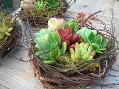 succulent nest...design by Chicweed