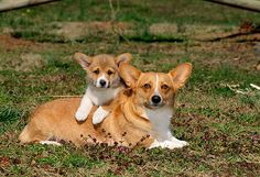 Pembroke Welsh Corgi Mother And Puppy Laying On Grass