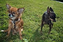 Russkiy Toy  A.k.a. Russian Toy Terrier Russian Terrier Moscow Toy Terrier Moscovian Miniature Terrier  Russia  Rat fighter and as a watchdog