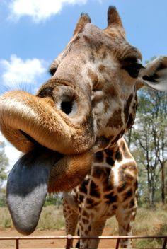*smooch* Funny Giraffe, Giraffe Art, Cute Giraffe, Super Cute Animals, Cute Baby Animals, Animals And Pets, Funny Animals, Giraffe Pictures, Funny Animal Pictures