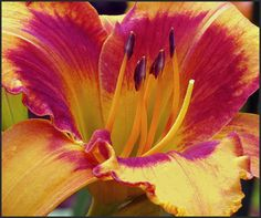 Daylily Day Lilies, Lily, Pretty, Flowers, Plants, Photography, Gardening, Beautiful, Photograph