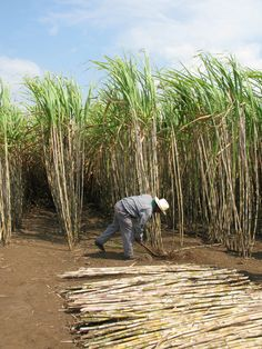 Zacapa sugar cane field harvest demos