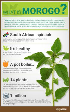 Nestlé scientists have been feeding green vegetables to a robot, as part of their research into whether a South African vegetable 'morogo' would work in . World History Projects, Medicinal Plants, Homeopathy, Scientists, Organic Gardening, Planting, Infographics, Noodles, South Africa