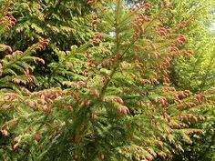 Purppurakuusi luononmuunnoa kuusesta.Uusi vuosikasvu on punainen muttuu myöhemmin vihreäksi. Flowers, Plants, Red, Plant, Royal Icing Flowers, Flower, Florals, Floral, Planets