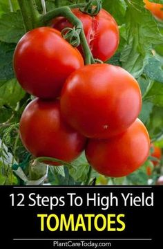 Producing crops of high yield tomatoes heirloom indeterminate or determinate what tomatoes need growing tips nutrients pests mulch and much more Learn the Details Growing Tomatoes Indoors, Tips For Growing Tomatoes, Growing Tomatoes In Containers, Growing Vegetables, How To Grow Tomatoes, Patio Tomatoes, Home Vegetable Garden, Tomato Garden, Tomato Plants